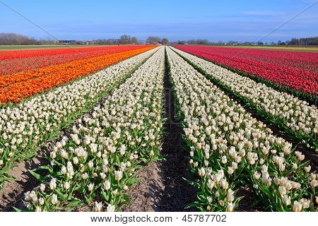 Red, White, Orange Tulips On Dutch Fields