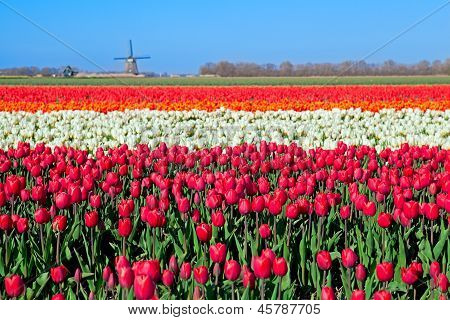 Colorful Tulip Fields And Dutch Windmill