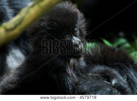 junge cute gorilla