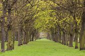 Alley of trees and lawn in Regent's park at spring, London poster