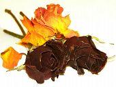 Shrivelled Roses