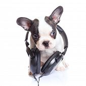 French bulldog puppy with headphones over white background poster