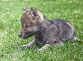 Young timber wolf or gray wolf pup, lies on the grass in springtime. poster