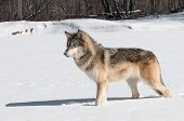 Grey Wolf (Canis lupus) Stands in Snowy Riverbed - captive animal poster
