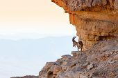 Wild ibex in the Negev Desert in Israel poster