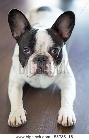 poster of French bulldog laying on the floor