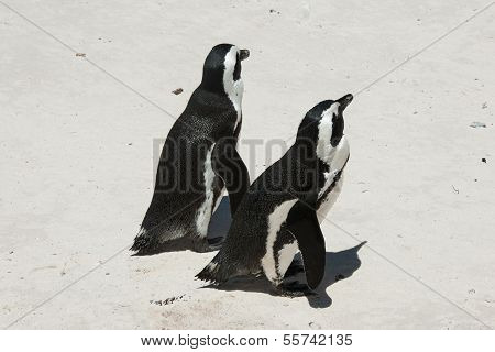 Two Penguin On Beach