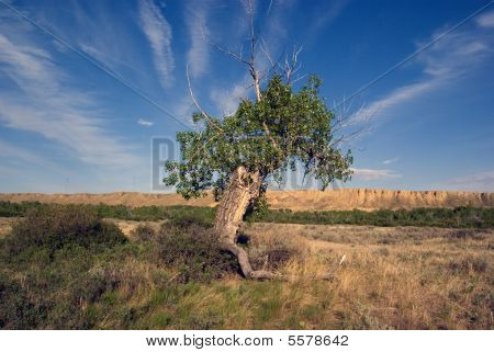 Ancient Cottonwood Tree