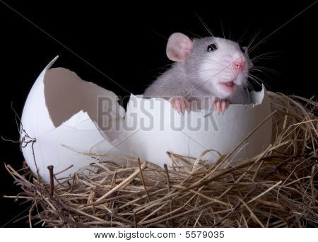 A rat is emerging from an egg in a nest. poster