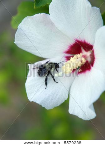 Bee On A Rose Of Sharon