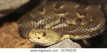 A Close Up Of A Rock Rattlesnake, Crotalus Lepidus