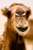A camel seems to be smiling in a close-up while it's eating in the Syrian desert. poster