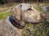 dirty labrador with sad look poster