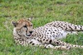 Cheetah resting in Singita Grumeti Reserves Tanzania. poster