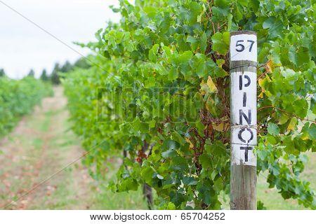 Pinot Grapevine
