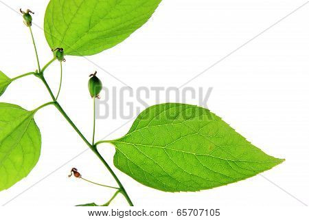 Common Hackberry  (Celtis australis)
