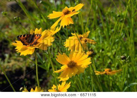 Small Tortoiseshell Butterfly On Coreopsis Flower