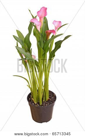 Potted Pink Calla Lily Isolated On White