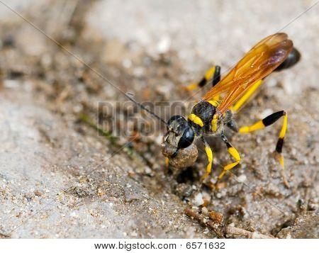 A Hornet Lifting a stone