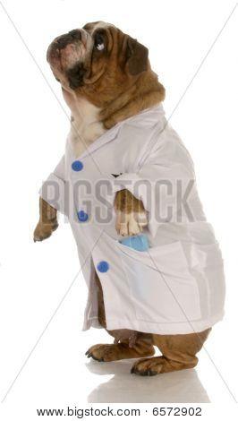 Bulldog Doctor Standing