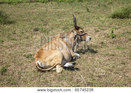Indian Ox Grazes At The Meadow