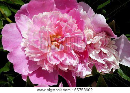 peonia pink flower