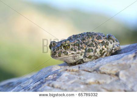 European Green Toad (Bufo viridis)
