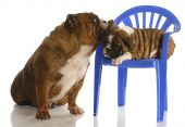 english bulldog mother with eight week old puppy poster