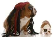 english bulldog adult and puppy dressed up as pirates poster