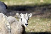 Portrait of a young big horn sheep poster