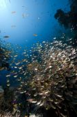 ocean coral and golden sweepers taken in the Red Sea. poster
