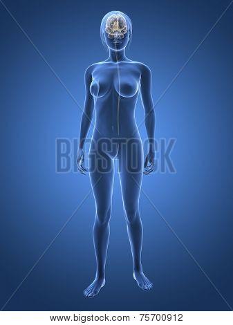 woman - nervous system