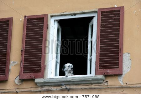 Dog Look Out A Window