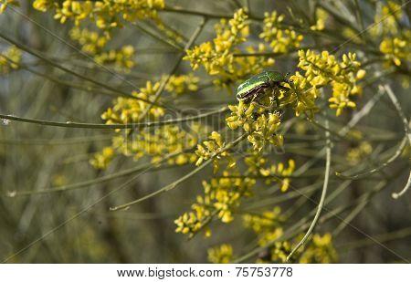 Cetonia Beetle