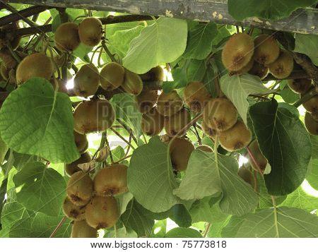 Kiwi tree filled with crop of kiwi fruits poster