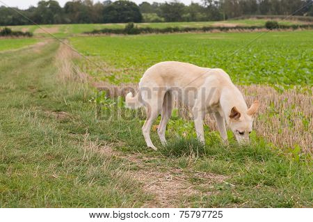 Lurcher Dog In A Field