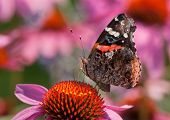 A beautiful Red Admiral butterfly feeds on the nectar of a Purple Coneflower in a midwestern prairie. poster