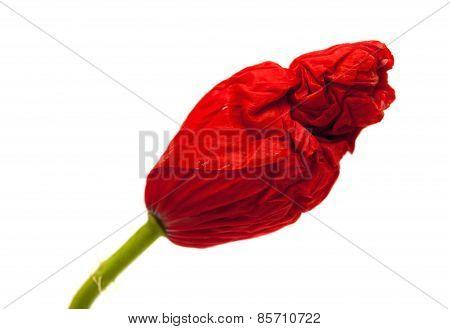 Closed Wrinkly Poppy Bud