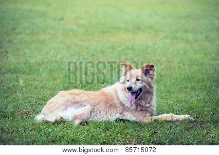 Cross Breed Golden Retriever Labrador Lying On The Grass