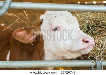 A Brown And White Calf In A Pen