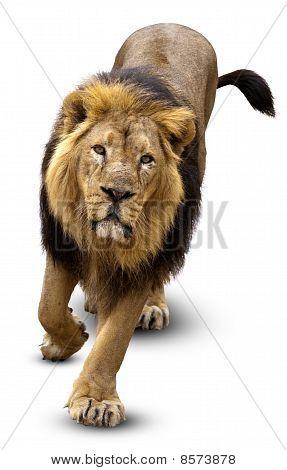 Asian Lion, Pantera Leo Persica