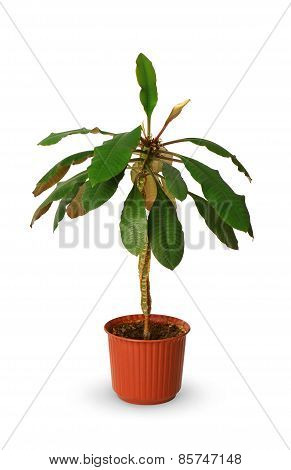 Houseplant - Euphorbia A Potted Plant Isolated Over White