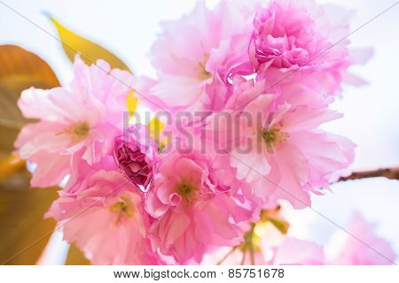 Closeup of blooming double cherry blossom tree
