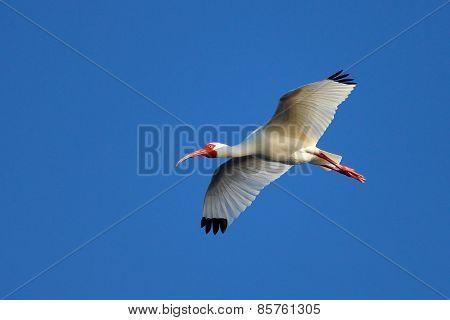 White Ibis Flying In Blue Sky