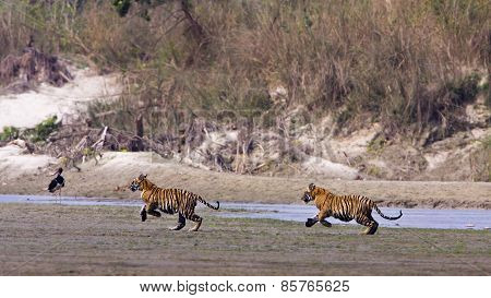 two young males Bengal tigers running in the riverbank