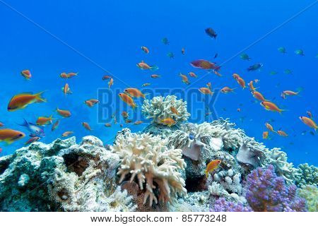 coral reef with soft and hard corals with exotic fishes anthias in tropical sea, underwater