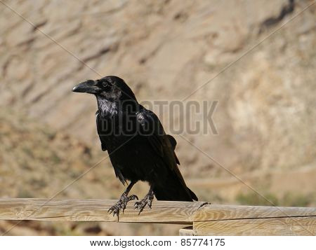 Canary Island Raven