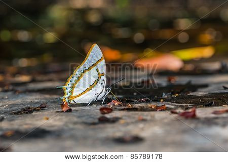Great Nawab Butterfly