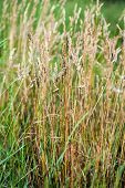 Wild Needle Grass Nassella tenuissima pattern background poster