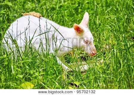 Cute Kangaroo.